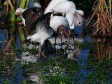 White Ibis(Immature)