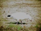 Geese Dec 08