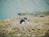 120-02165 Blk-necked Stilt on Nest.JPG