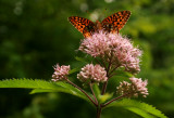 Joe Pye Weed with fritillary butterfly