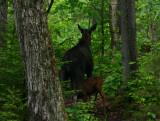 Nursing Moose (a)