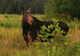 Cow Moose in Summer