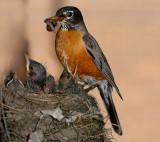 166 Robin chicks feeding 3.jpg