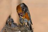 166 Robin chicks feeding 4.jpg