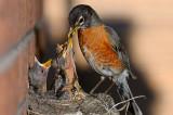 166 Robin chicks feeding 5.jpg
