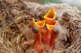 166 Robin Hatchlings 1.jpg