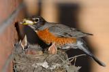 166 Robin houscleaning.jpg