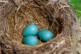 166 Robins eggs 1.jpg