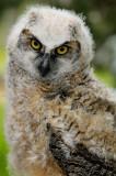 170 Baby Horned Owl 2.jpg