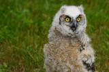 170 Baby Horned Owl 3.jpg