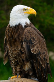 170 Bald Eagle 2.jpg