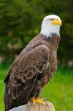 170 Bald Eagle 4.jpg