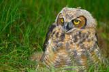 170 Horned Owl 1.jpg