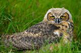 170 Horned Owl 2.jpg