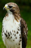 170 Red Tailed Hawk 1.jpg