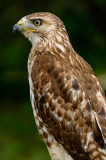 170 Red Tailed Hawk 2.jpg