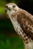 170 Red Tailed Hawk 3.jpg