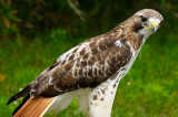 170 Red Tailed Hawk 6.jpg