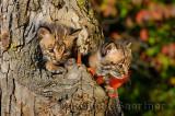 178 Bobcat kittens 4.jpg