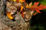 178 Bobcat kittens 11.jpg