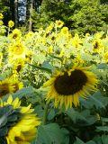 Sunflowers abounding~ September 17th