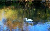 a narcissic swan.