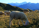 moutons # 3