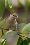 Yellow-throated Sparrow (female)