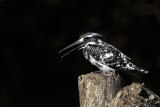 Pied King
