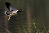 Red-wattled Lapwing in flight