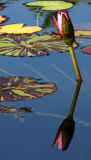 16.  Water Lily Reflection