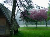 Purple tree - Tara mountain