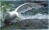 GULL of the FALLS