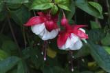 Fuchsia.jpg