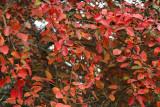 Crape foliage