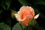 Rose 'Fragrant Apricot'