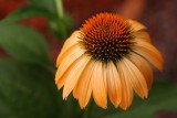 Echinacea 'Harvest Moon' as it matures, the petals recurve