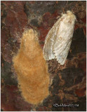 Gypsy Moth with Egg Mass