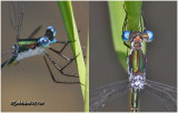 SPREADWINGS - Family Lestidae