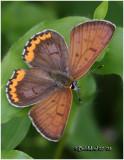 Bronze Copper-Male