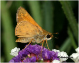 Sachem Skipper-Male