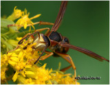 Northern Paper Wasp-Face Male