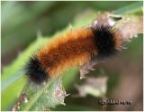 Isabella Tiger Moth Caterpillar Pyrrharctia isabella #8129