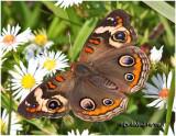 Common BuckeyeJunonia coenia