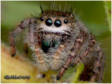 FAMILY SALTICIDAE-(Jumping Spiders)