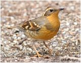 Varied Thrush-1st year female