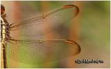 Golden-winged SkimmerFemale
