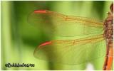 Golden-winged Skimmer-Male