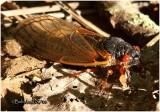 Cicada-Brood XIV