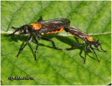 Robber Flies-Mating